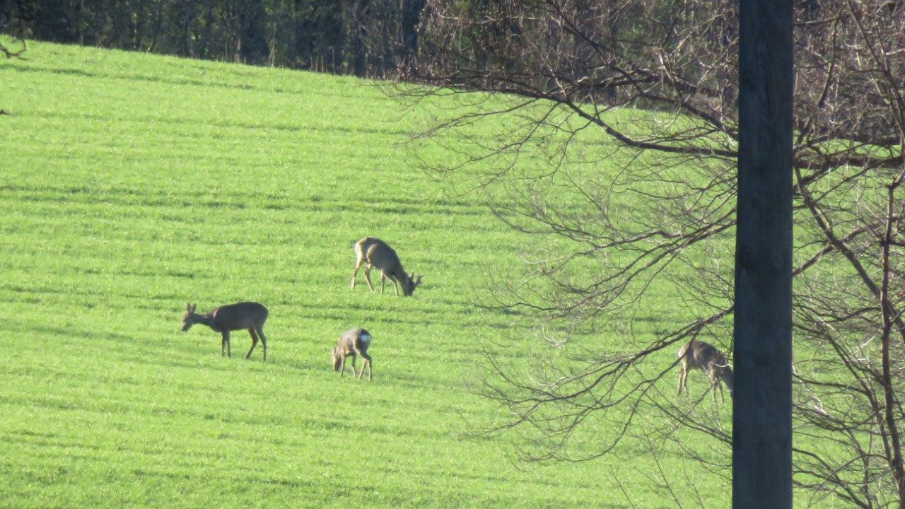 9 Mitten durchs Grüne neben grasenden Rehen.jpg
