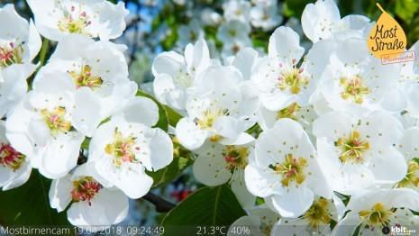 birnbaum-webcam-blüte(c)mostviertel-tourismus.jpg
