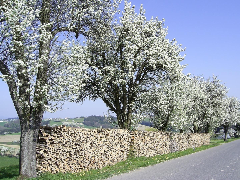 Birnbaumblüte_10.JPG