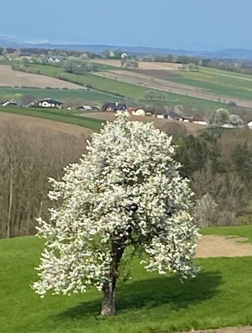 Birnbaumblüte2.jpg