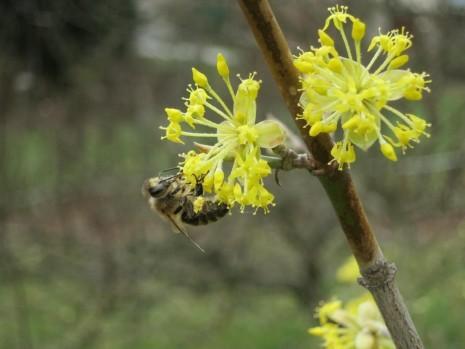 Biene auf Dirndl-Blüte (© K. Wanninger)