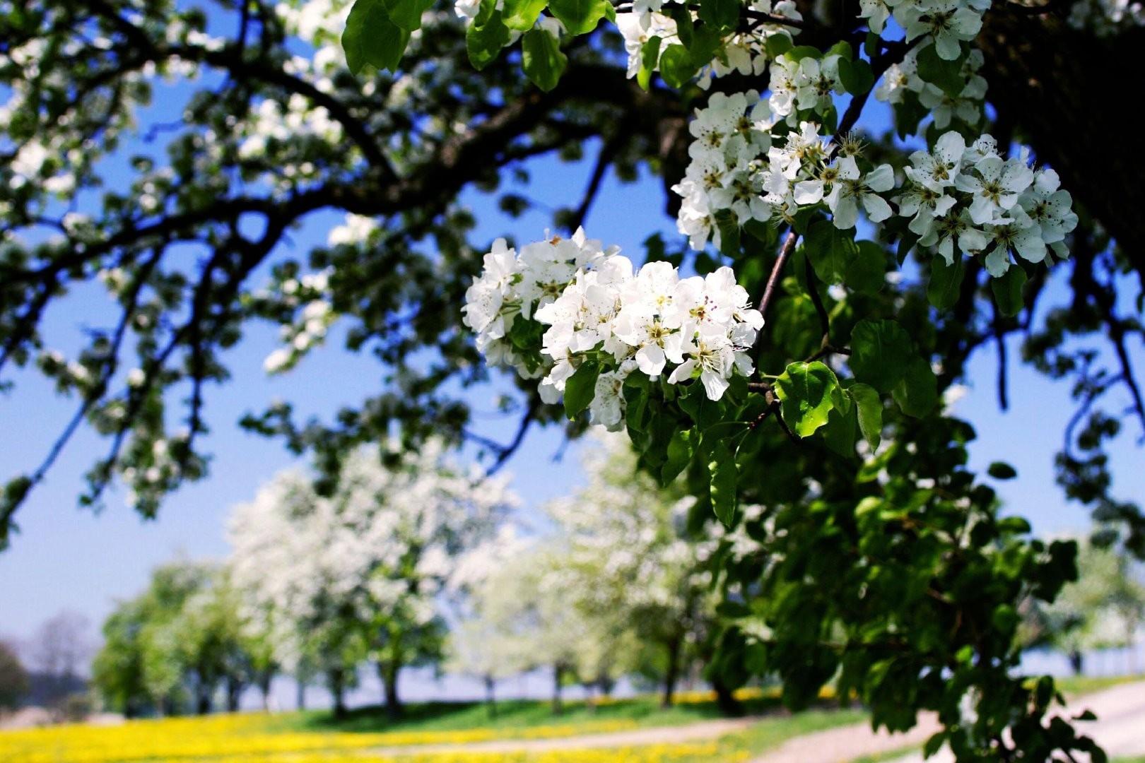 Birnbaumblüte_.jpg