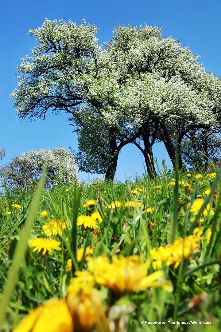 Mostbaumblüte 1 - weinfranz.at.jpg